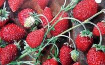 Как правильно посеять землянику семенами