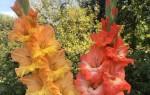 Луковицы гладиолусов — подготовка, виды посадок в открытый грунт