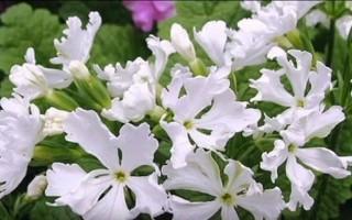 Красивый первоцвет — примула: как правильно вырастить в саду