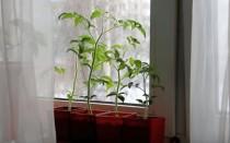 Рассада томатов: пикировка, уход и подкормка