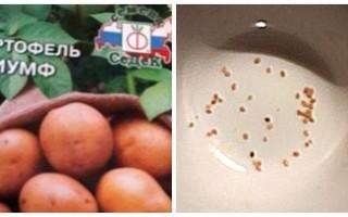 Картофель из семян: выращивать или не выращивать?