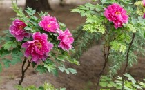 Пион древовидный: посадка, уход, способы размножения