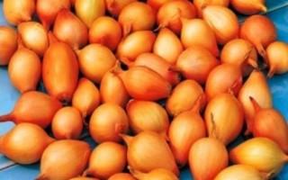 Как правильно выбрать лук севок при покупке, сохранить и подготовить к посадке