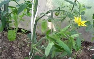 Формирование томатов — нужная процедура