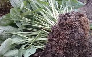 Размножение хосты делением куста осенью