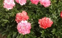 Виды пионов травянистых: как посадить, ухаживать и размножать