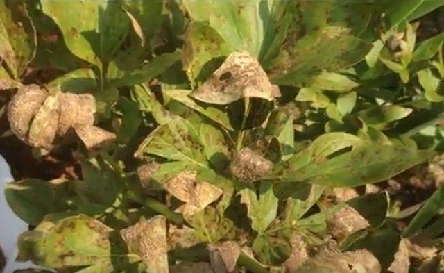 Листья пиона полностью коричневые