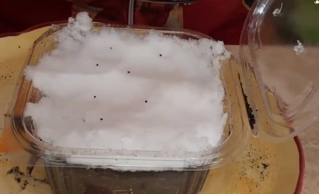 примула под снег