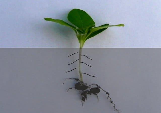 придаточные корни у рассады