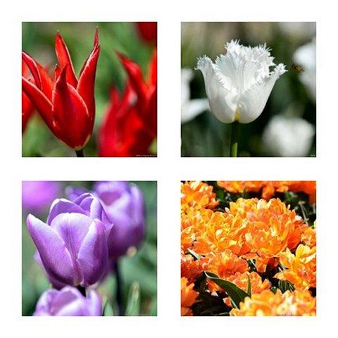 тюльпаны ботанического сада