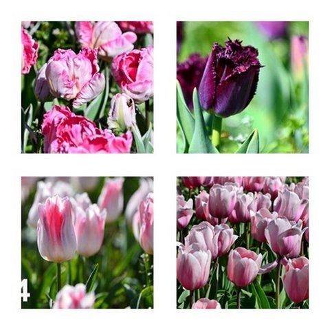 тюльпаны никитский